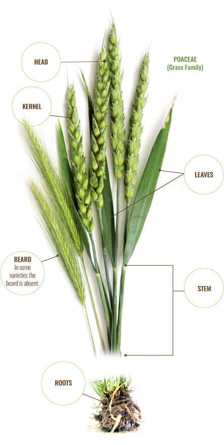 wheat plant - stem
